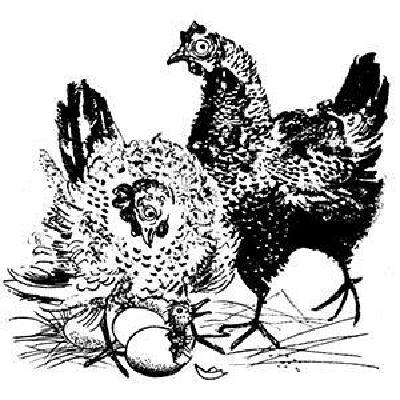 cluck-old-hen