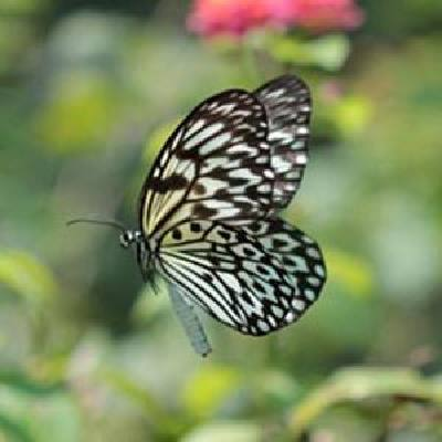 paruparong-bukid-the-butterfly-field-